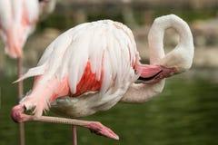 Flamenco rosado en el parque zoológico, phoenicopterus a solas del flamenco preparando sus plumas, pájaro rosáceo blanco hermoso  foto de archivo libre de regalías