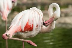 Flamenco rosado en el parque zoológico, phoenicopterus a solas del flamenco preparando sus plumas, pájaro rosáceo blanco hermoso  fotografía de archivo libre de regalías
