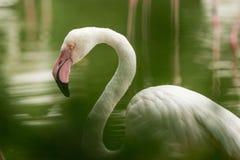 Flamenco rosado en el parque zoológico, phoenicopterus a solas del retrato del flamenco, pájaro rosáceo blanco hermoso cerca de l fotos de archivo libres de regalías