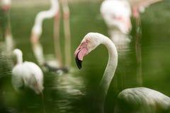 Flamenco rosado en el parque zoológico, phoenicopterus a solas del retrato del flamenco, pájaro rosáceo blanco hermoso cerca de l fotografía de archivo libre de regalías
