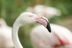 Flamenco rosado en el parque zoológico, phoenicopterus a solas del retrato del flamenco, pájaro rosáceo blanco hermoso cerca de l fotografía de archivo