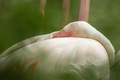 Flamenco rosado en el parque zoológico, phoenicopterus a solas del retrato del flamenco, pájaro rosáceo blanco hermoso cerca de l foto de archivo libre de regalías