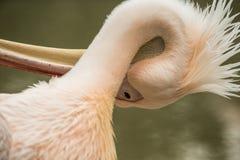 Flamenco rosado en el parque zoológico, phoenicopterus a solas del retrato del flamenco, pájaro rosáceo blanco hermoso cerca de l imágenes de archivo libres de regalías