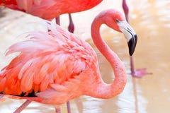 Flamenco rosado en parque de la fauna Fotografía de archivo libre de regalías