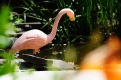 Flamenco rosado plástico en una charca del jardín del patio trasero Imagen de archivo libre de regalías