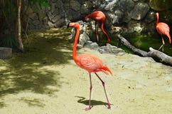 Flamenco rosado que camina en la arena a lo largo de la costa Fotos de archivo libres de regalías