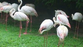 Flamenco rosado que se atusa sus plumas