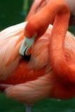 Flamenco rosado que se prepara fotografía de archivo libre de regalías