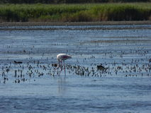 Flamenco's flamingo's. Picture of flamenco's in the water Royalty Free Stock Photography