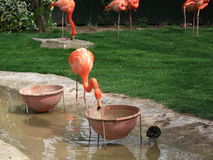 Flamenco's flamingo's. Picture of flamenco's in the water Stock Photos