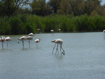 Flamenco's flamingo's. Picture of flamenco's in the water Stock Photo