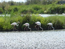 Flamenco's flamingo's. Picture of flamenco's in the water Royalty Free Stock Images