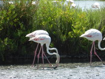 Flamenco's flamingo's. Picture of flamenco's in the water Royalty Free Stock Photos