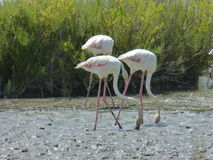 Flamenco's flamingo's. Picture of flamenco's in the water Royalty Free Stock Image