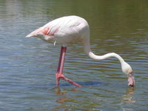 Flamenco's flamingo's. Picture of flamenco's in the water Stock Photography
