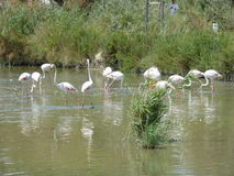 Flamenco's flamingo's. Picture of flamenco's in the water Royalty Free Stock Photo
