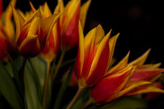 Flamenco. Tulips flowers - dance of bouquet impression. Macro photography of nature Stock Image