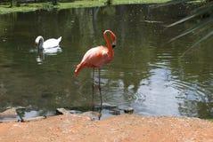 Flamenco y cisne rosados en el ambiente tropical foto de archivo libre de regalías