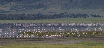 Flamencoen el lago del ngorongoro Arkivfoto
