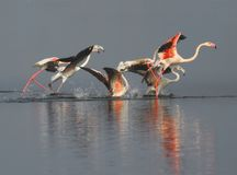 Flamencos Imagen de archivo