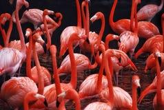 Flamencos Imagenes de archivo