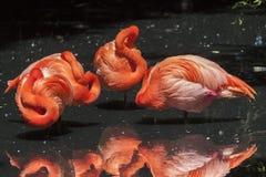 Flamencos americanos - Phoenicopterus Ruber Imagen de archivo libre de regalías