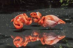 Flamencos americanos - Phoenicopterus Ruber fotos de archivo