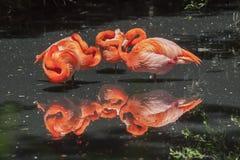 Flamencos americanos - Phoenicopterus Ruber Fotos de archivo libres de regalías