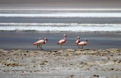 Flamencos andinos, andinus del phoenicoparrus, Laguna Hedionda, Bolivia Fotos de archivo libres de regalías