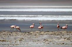 Flamencos andinos, andinus del phoenicoparrus, Laguna Hedionda, Bolivia Imágenes de archivo libres de regalías