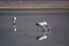 Flamencos andinos que forrajean en la laguna de Chaxa Reserva nacional de los flamencos del Los chile Imagen de archivo