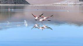 Flamencos andinos rosados en vuelo Imagenes de archivo