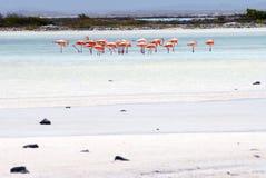 Flamencos Bonaire Imagen de archivo libre de regalías