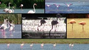 Flamencos, collage almacen de metraje de vídeo
