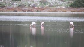 Flamencos de Lesser Flamingo Feeding Among Greater almacen de video