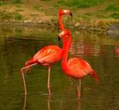 Flamencos de Rose en el parque zoológico en Heidelberg, Alemania Imagenes de archivo