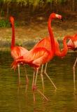 Flamencos de Rose en el parque zoológico en Heidelberg, Alemania Fotografía de archivo