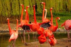 Flamencos de Rose en el parque zoológico en Heidelberg, Alemania Foto de archivo
