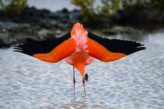 Flamencos del Caribe que se colocan en la laguna Las islas de las Islas Gal3apagos pájaros ecuador foto de archivo libre de regalías
