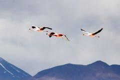 Flamencos del vuelo Imagenes de archivo