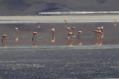 Flamencos in Eduardo Alveroa, Uyuni Bolivia Royalty Free Stock Image