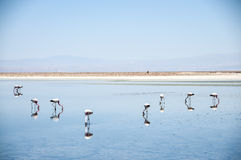 Flamencos en el desierto de Atacama, Bolivia imagen de archivo libre de regalías