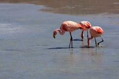 Flamencos en el lago, Bolivia Imagen de archivo libre de regalías