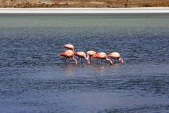 Flamencos en el lago, Bolivia Imágenes de archivo libres de regalías