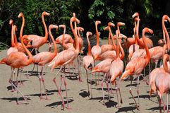 Flamencos en el parque zoológico de San Diego Imagen de archivo libre de regalías