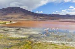 FLAMENCOS EN LA LAGUNA ROJA, BOLIVIA Imagenes de archivo