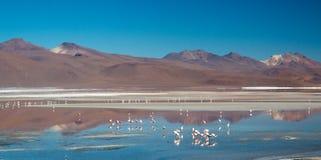Flamencos en Laguna Colorada imagenes de archivo