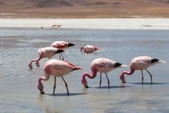 Flamencos en Laguna Hedionda Imágenes de archivo libres de regalías