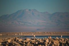 Flamencos en Salar de Atacama Imágenes de archivo libres de regalías