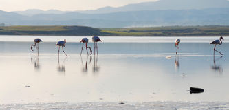 Flamencos en un lago Fotografía de archivo libre de regalías
